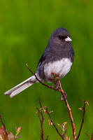 Junco on Roan